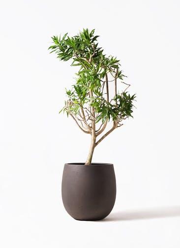 観葉植物 ドラセナ ソング オブ ジャマイカ 8号 テラニアス バルーン アンティークブラウン 付き