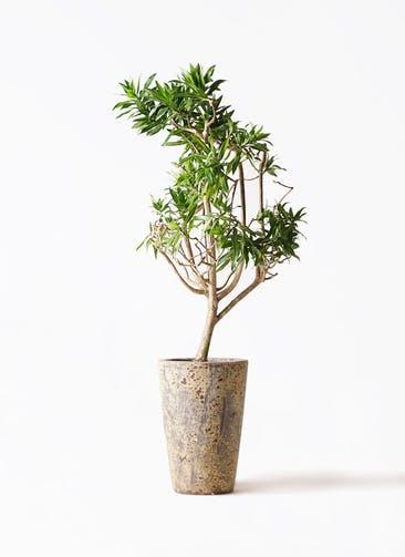観葉植物 ドラセナ ソング オブ ジャマイカ 8号 アトランティス クルーシブル 付き