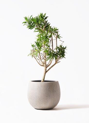 観葉植物 ドラセナ ソング オブ ジャマイカ 8号 テラニアス ローバルーン アンティークホワイト 付き