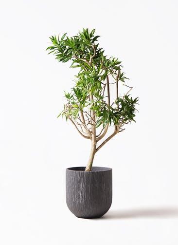観葉植物 ドラセナ ソング オブ ジャマイカ 8号 カルディナダークグレイ 付き