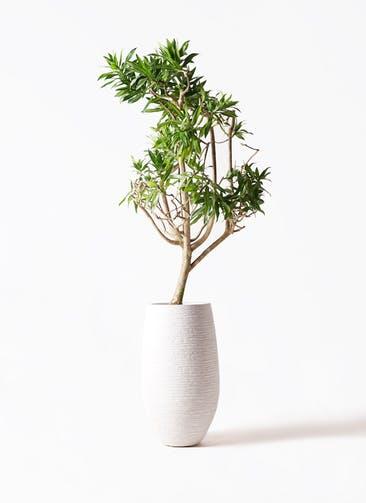 観葉植物 ドラセナ ソング オブ ジャマイカ 8号 フォンティーヌトール 白 付き