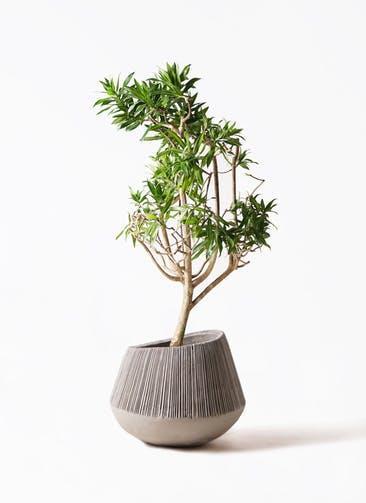 観葉植物 ドラセナ ソング オブ ジャマイカ 8号 エディラウンド グレイ 付き