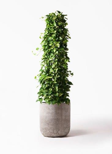 観葉植物 ポトス 10号 エルバ 白 付き