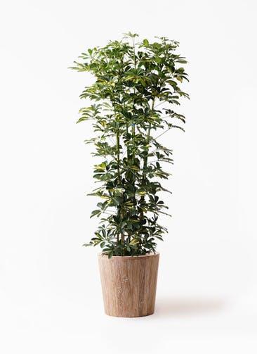 観葉植物 カポック(シェフレラ) 10号 斑入り ウッドプランター 付き