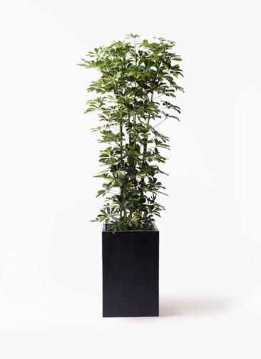 観葉植物 カポック(シェフレラ) 10号 斑入り セドナロング 墨 付き