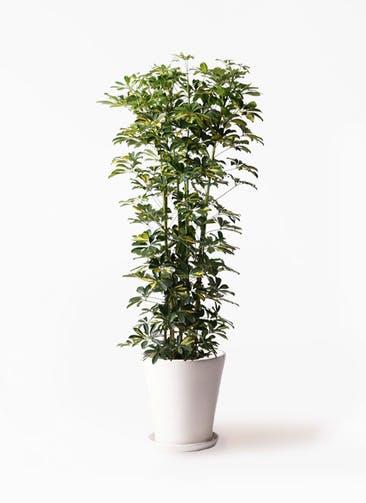 観葉植物 カポック(シェフレラ) 10号 斑入り サブリナ 白 付き