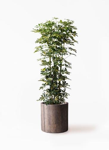 観葉植物 カポック(シェフレラ) 10号 斑入り アルファシリンダープランター 付き