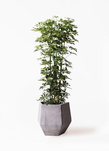 観葉植物 カポック(シェフレラ) 10号 斑入り ファイバークレイGray 付き
