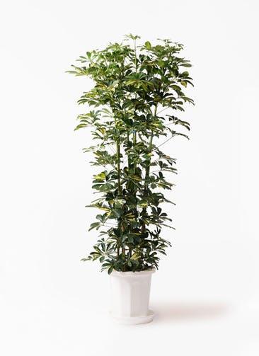 観葉植物 カポック(シェフレラ) 10号 斑入り プラスチック鉢
