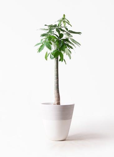 観葉植物 パキラ 10号 朴 ジュピター 白 付き