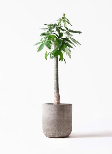 観葉植物 パキラ 10号 朴 エルバ 白 付き