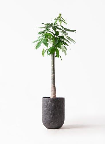 観葉植物 パキラ 10号 朴 カルディナトールダークグレイ 付き