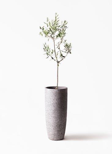 観葉植物 オリーブの木 8号 カラマタ エコストーントールタイプ Gray 付き