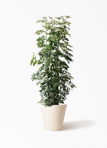観葉植物 カポック(シェフレラ) 10号 ノーマル フォリオソリッド クリーム 付き