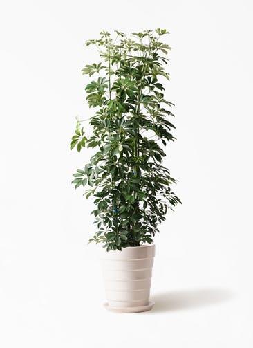 観葉植物 カポック(シェフレラ) 10号 ノーマル サバトリア 白 付き