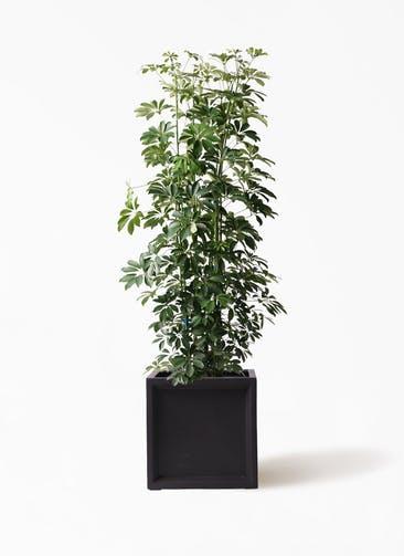 観葉植物 カポック(シェフレラ) 10号 ノーマル ブリティッシュキューブ 付き
