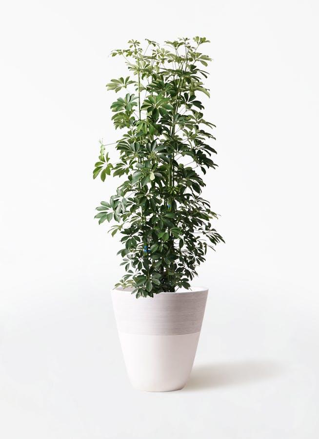 観葉植物 カポック(シェフレラ) 10号 ノーマル ジュピター 白 付き