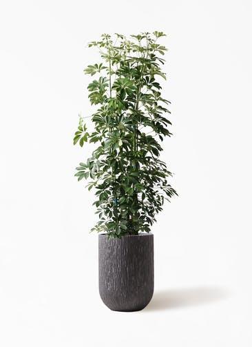 観葉植物 カポック(シェフレラ) 10号 ノーマル カルディナトールダークグレイ 付き