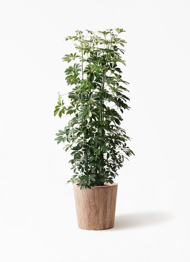 観葉植物 カポック(シェフレラ) 10号 ノーマル ウッドプランター 付き