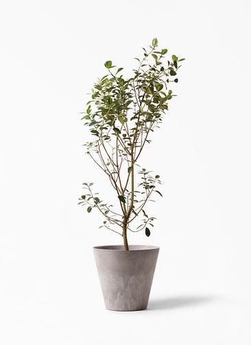 観葉植物 フランスゴムの木 10号 ノーマル アートストーン ラウンド グレー 付き