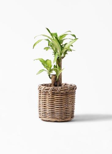 観葉植物 ドラセナ 幸福の木 6号 ノーマル グレイラタン 付き