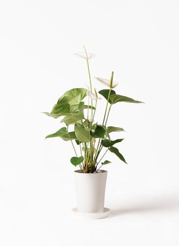 観葉植物 アンスリウム 6号 スミ プラスチック鉢