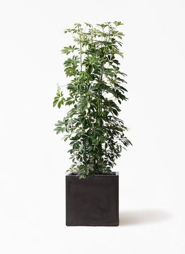 観葉植物 カポック(シェフレラ) 10号 ノーマル ファイバークレイ キューブ 付き