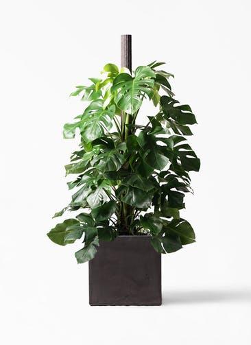観葉植物 モンステラ 10号 ヘゴ柱 ファイバークレイ キューブ 付き