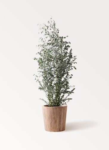 観葉植物 ユーカリ 10号 グニー ウッドプランター 付き