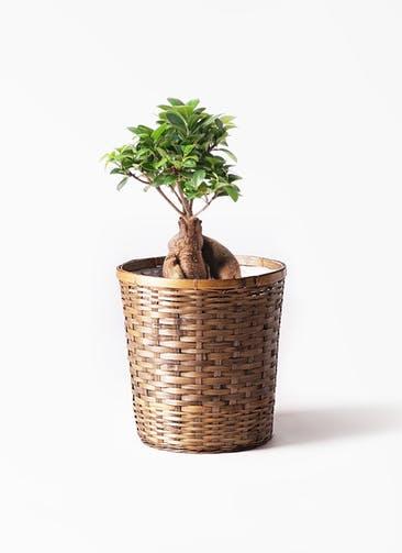 観葉植物 ガジュマル 6号 股仕立て 竹バスケット 付き