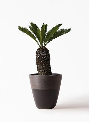 観葉植物 ソテツ 8号 ジュピター 黒 付き