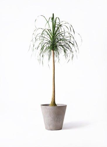観葉植物 トックリラン ポニーテール 10号 アートストーン ラウンド グレー 付き