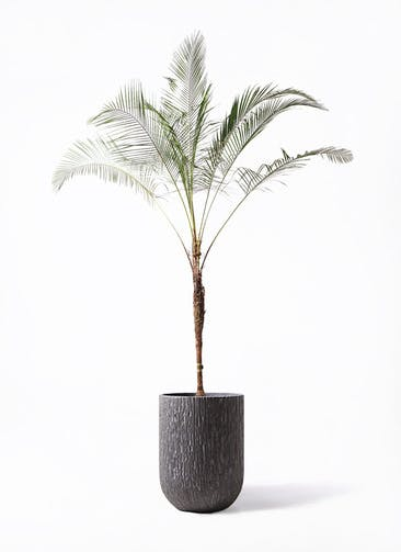 観葉植物 ヒメココス 10号 カルディナトールダークグレイ 付き