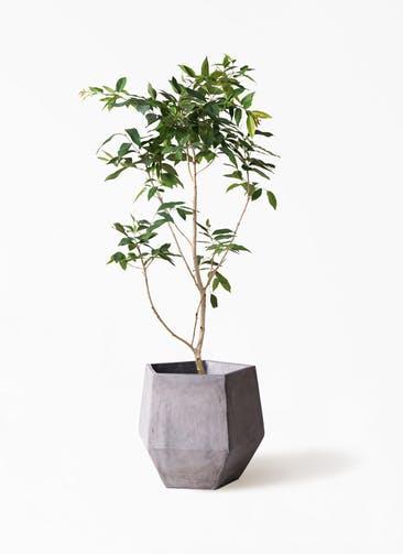 観葉植物 アマゾンオリーブ (ムラサキフトモモ) 10号 ファイバークレイGray 付き