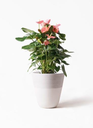 観葉植物 アンスリウム 10号 ピンクチャンピオン ジュピター 白 付き