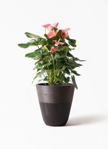 観葉植物 アンスリウム 10号 ピンクチャンピオン ジュピター 黒 付き