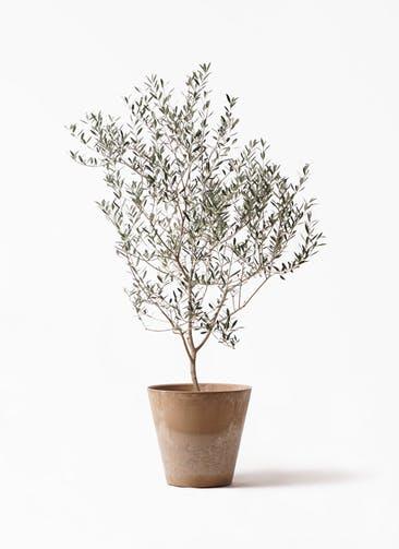 観葉植物 オリーブの木 8号 カヨンヌ アートストーン ラウンド ベージュ 付き