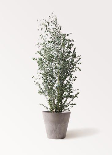 観葉植物 ユーカリ 10号 グニー アートストーン ラウンド グレー 付き