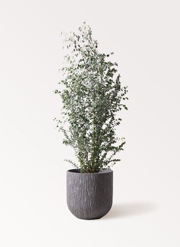 観葉植物 ユーカリ 10号 グニー カルディナダークグレイ 付き