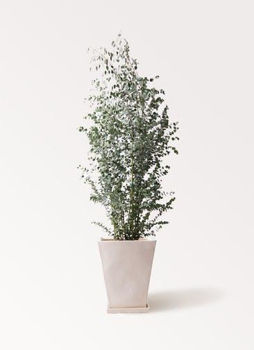 観葉植物 ユーカリ 10号 グニー スクエアハット 白 付き