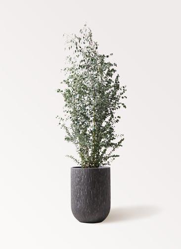 観葉植物 ユーカリ 10号 グニー カルディナトールダークグレイ 付き