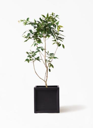 観葉植物 アマゾンオリーブ (ムラサキフトモモ) 10号 ブリティッシュキューブ 付き