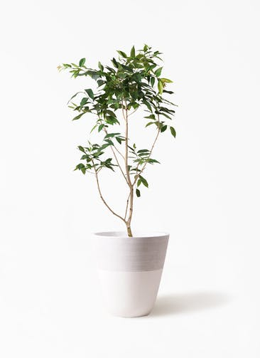観葉植物 アマゾンオリーブ (ムラサキフトモモ) 10号 ジュピター 白 付き
