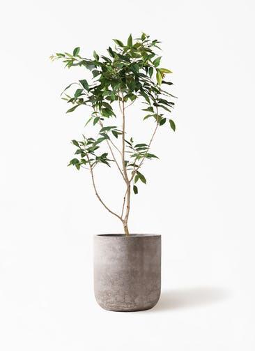 観葉植物 アマゾンオリーブ (ムラサキフトモモ) 10号 エルバ 白 付き