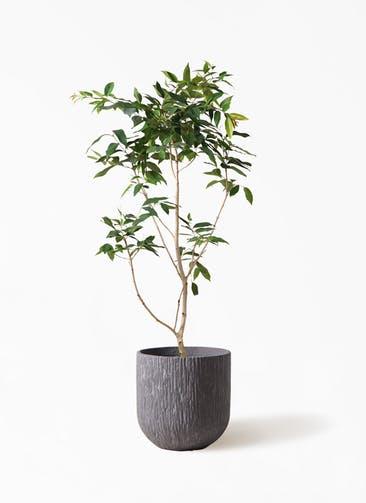 観葉植物 アマゾンオリーブ (ムラサキフトモモ) 10号 カルディナダークグレイ 付き