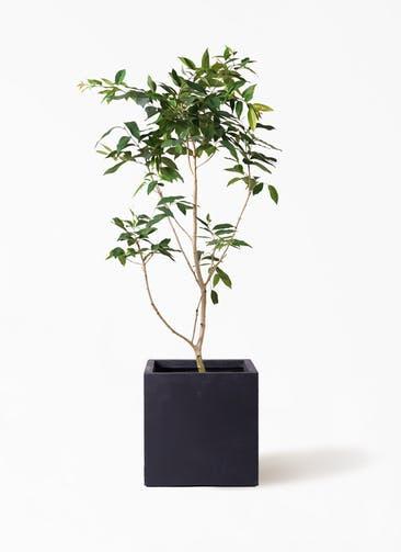 観葉植物 アマゾンオリーブ (ムラサキフトモモ) 10号 ベータ キューブプランター 黒 付き