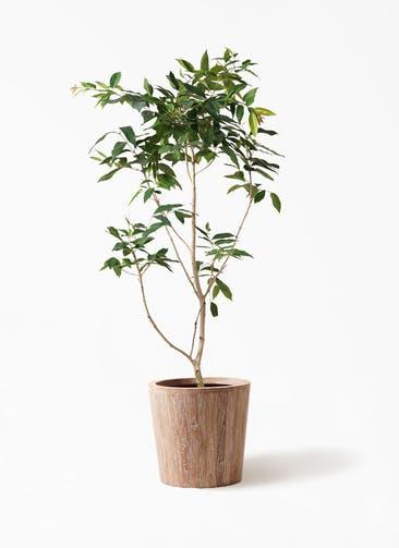 観葉植物 アマゾンオリーブ (ムラサキフトモモ) 10号 ウッドプランター 付き