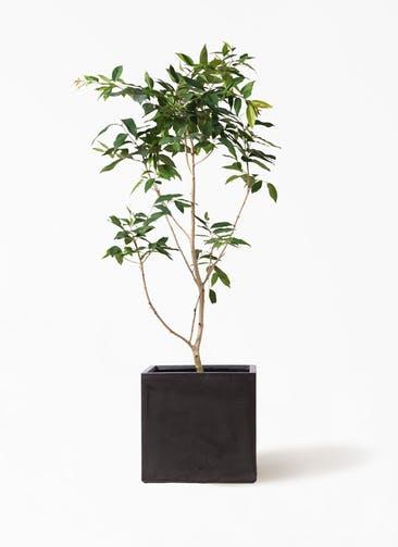 観葉植物 アマゾンオリーブ (ムラサキフトモモ) 10号 ファイバークレイ キューブ 付き