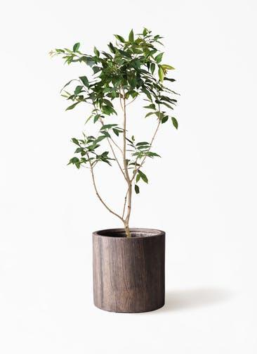 観葉植物 アマゾンオリーブ (ムラサキフトモモ) 10号 アルファシリンダープランター 付き
