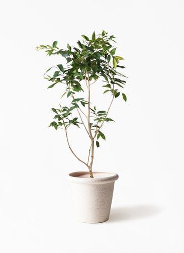 観葉植物 アマゾンオリーブ (ムラサキフトモモ) 10号 ビアスリムス 白 付き